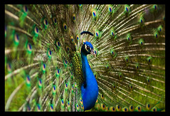 Swagger (Jonathan Urrutia) Tags: blue beauty austin colours may mayfield peacocks mayfieldpark specanimal bokehsonicejuly bokehsonicejuly22