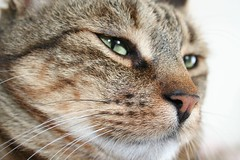 tigre (valefranz) Tags: pet cats pets animal animals cat fat tiger felino felini gatto gatti righe micio mici grasso stupido tigrato animalidacompagnia
