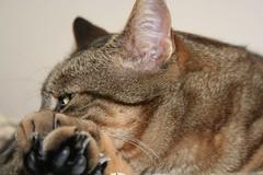 Righe (valefranz) Tags: pet cats pets animal animals cat fat felino felini gatto gatti righe micio mici grasso stupido tigrato animalidacompagnia