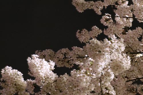 桜 2005