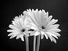 Black & White Gerberas (Mark Zuid) Tags: flowers blackandwhite bw blackwhite kodak explore gerbera badge z650 kodakz650