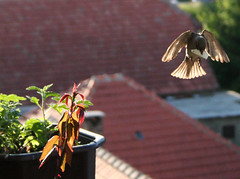(Marko Milošević) Tags: roof sun plant flower reflection building bird nature wow flying wings father flight fast roofs sparrow devotion moment care pure caught photophilosophy wowihadtoturnonthecapslockforthisone