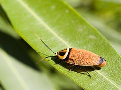 Bush Cockroach