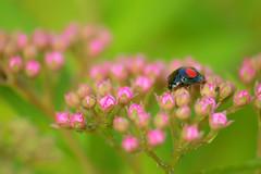 ladybug (Frog Head) Tags: macro nature insect ladybug froghead