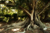 Moreton Bay Fig Tree (~Prescott) Tags: tree fig native australia ficus trunk moretonbayfig 84points theinterestingest