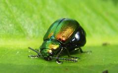 Green Beetle (Mark Philpott) Tags: camera england macro nature closeup digital bug insect close mark wildlife sony beetle cybershot edge imaging damselfly t9 philpott jewelscarab