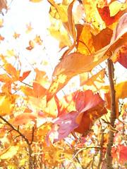 Burn (Lachlan Hardy) Tags: autumn trees sun australia myhouse vic p frontyard autumnal ballarat nomanipulation auspctagged pc3350 20060519 nicemetadata verynatural