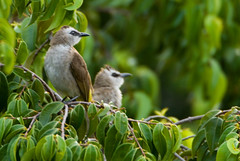 What I saw today from my bedroom's veranda… (bocavermelha-l.b.) Tags: mount watcher faber mountfaber 500mmf4dii tc20eii insingapore yellowventedbulbul pycnonotusgoiavier foundinmountfaber south–china–sea z5oo shootingwithd200 wildlifesingapore