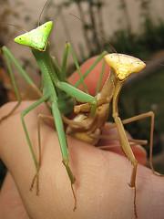 (Techuser) Tags: macro nature topv111 garden mantis insect backyard close marriage mantid topvaa