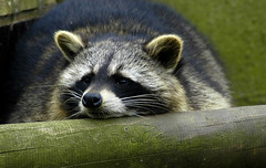 racoon2 (bea2108) Tags: cute animal animals zoo racoon osnabrck racoons