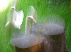 Les esprits du jardin (zenera) Tags: white green nature birds garden geese blurry nikon zenfli blurvision goose ethereal ghosts gus ghostly esmerelda goosetave essie ghosted ghoster