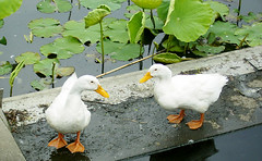 (sor) Tags: duck lotus pair
