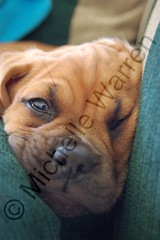 © The Puggle Baby (Light Saver) Tags: dog puppy cute puggle mixedbreeds mixed breed wrinkles pug beagle pugbeagle twtmesh130743 tired allmyimagesarecopyrighted donotusewithoutwrittenpermissions ignoranceofcopyrightlawsisnoexcusetobreakthem donotcopy allimagesarelicensedthroughgettyimages contactmewithanyquestions