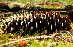 Fir cone sideways (oz_britta) Tags: germany ilovenature cone artphoto zapfen schwbischealb swabianmountains lonetal