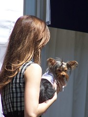 Mini me (makeupanid) Tags: toronto cute yorkie fashion model yorkshireterrier woofstock dogfashionshow commentonmycuteness theworldthroughmyeyes dogfestival