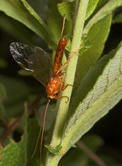 """ichneumon wasp(1) • <a style=""""font-size:0.8em;"""" href=""""http://www.flickr.com/photos/57024565@N00/168218385/"""" target=""""_blank"""">View on Flickr</a>"""