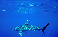 Big Oceanic White Tip (ScottS101) Tags: fish danger ilovenature hawaii shark scary predator kona allrightsreserved oceanic longimanus ilovetheocean carcharhinus copyrightscottsansenbach2008