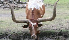 Longhorn (T Hall) Tags: alvin bayouwildlife bayouwildlifepark cow lenstagged longhorn park tamron24135f35 texas tx