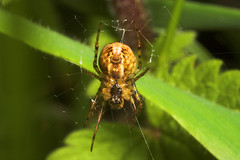 "Spider (Araneus diadematus) • <a style=""font-size:0.8em;"" href=""http://www.flickr.com/photos/57024565@N00/172729409/"" target=""_blank"">View on Flickr</a>"