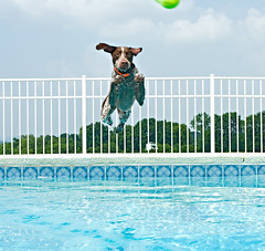 Otis Has Ups (hrtmnstrfr) Tags: summer dog wet water pool swimming jump otis fetch gsp 250v10f