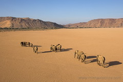 marching for water... (Michael Poliza) Tags: africa elephant nature landscape desert wildlife dry safari afrika elephants namibia herd doro itsonginvite damaraland nawas itsongcanoneos1dmarkii itsongpathstoadventure itsongadventureafrica africabook doronawas