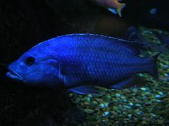 blue fish aquarium downtown texas african houston cichlid electricblue