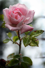 Everlasting beauty (janinehealy) Tags: pink flowers roses plants plant flower green slr beauty leaves rose canon 350d leaf petals petal dslr janine janinehealy bokehsonice