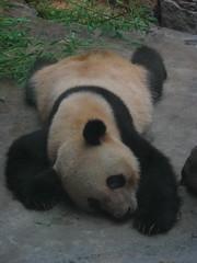 Beijing Zoo (Robert Nyman) Tags: world china travel 2002 zoo panda flickr beijing round beijingzoo pandas roundtheworld robertnyman