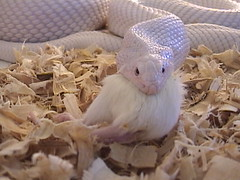 Leucistic black pine snake eating (EcoSnake) Tags: snakes snakeeating pinesnake