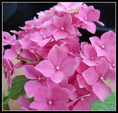 Fuchsia - by WTL photos