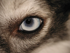 Kaia's Left Eye (Scott Kinmartin) Tags: dog eye kaia dogseye