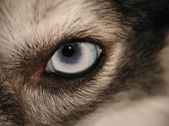 Kaia's Left Eye (Scott Kinmartin) Tags: dog eye kaia dogseye