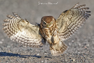 Wings like an Angel ...... Wild Little Owl