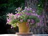 Petunias being decorative (VillaRhapsody) Tags: flowers pot petunias table garden pretty challengeyouwinner cy2