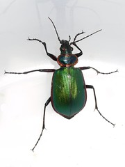 Calosoma scrutator - Fiery Searcher (woolcarderbee) Tags: wisconsin beetle fierysearcher coleoptera calosomascrutator