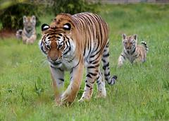 Tschuna and Cubs (gareth46233) Tags: park wildlife yorkshire tiger cubs amur tschuna