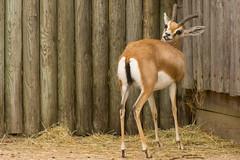 Dorcas Gazelle (Cissa Rego) Tags: bird nature animals zoo meerkat wildlife ostrich leopard lemur owl marwell tapir capybara wildanimals marwellzoo fossa zoologicalpark