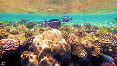 The underwater world of the Red Sea (greyforcer) Tags: sea fish water coral underwater egypt reef