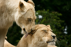 White Lionesses (Jimmy J Junior) Tags: white lion bigcat lioness paradisewildlifepark