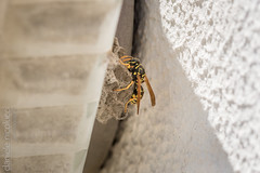 Constructor (Daniele Nicolucci photography) Tags: life house black macro building home nature yellow closeup danger bug insect dangerous wings construction wasp nest stripes antenna striped antennae antennas