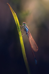 Demselfly (Pásztor András) Tags: sunlight macro grass insect photography lights nikon hungary sigma stack detailed andras 105mm pasztor demselfly d5100