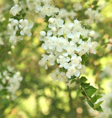 Summer Myrtle flowers (ekaterina alexander) Tags: pictures flowers summer england white tree nature gardens garden photography sussex blossom small national trust bloom myrtle alexander shrub chilean luma nymans ekaterina myrtus apiculata