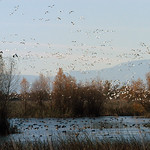 Waterfowl-Central Valley_152 thumbnail
