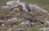Curlew / Wulp (Kees Waterlander) Tags: scotland unitedkingdom gb shetland curlew foula wulp numeniusarquata