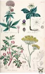 Anglų lietuvių žodynas. Žodis herb roberts reiškia žolė roberts lietuviškai.