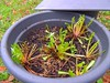 gebleichter Löwenzahnsalat - dandelion salat (Sophia-Fatima) Tags: mygarden meingarten gebleichterlöwenzahnsalat löwenzahn babyleaf dandelionsalat