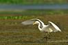 DSC_0552 (Suman_1976) Tags: nikond700 wildlife birds indianwildlife 300mmf4 14eiitc chupichar