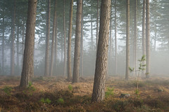 """I wanna be like you"" (Stu Meech) Tags: trees new forest hampshire sunrise fog mist nikon d750 70200 stu meech leefilters"