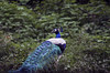 இயற்கை (Kals Pics) Tags: papanasam peacock bird nature featers tirunelveli tenkasi india plants trees vegetation greenery cwc chennaiweekendclickers roi rootsofindia hillstation mountains westernghats nationalbird lordmuruga vagana beauty green herbs agasthiyar muni travel forest kalspics