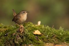 Je suis mignon, mignon, mignon... (regisfiacre) Tags: oiseau bird troglodyte mignon troglodytes ornitho ornithologie nature canon 100400mm 7dii